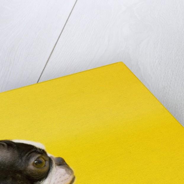 Dog by Corbis