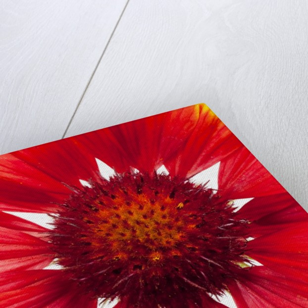 Blanketflower by Corbis