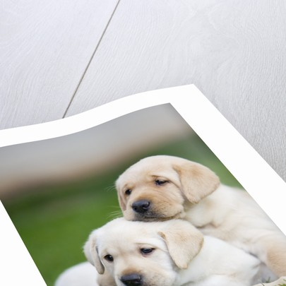 Yellow labrador retriever puppies by Corbis