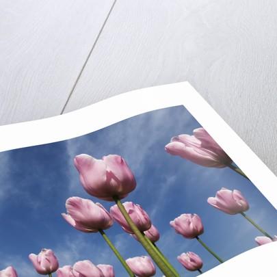 Pink tulips in a garden, Indira Gandhi Tulip Garden, Srinagar, Jammu And Kashmir, India by Corbis