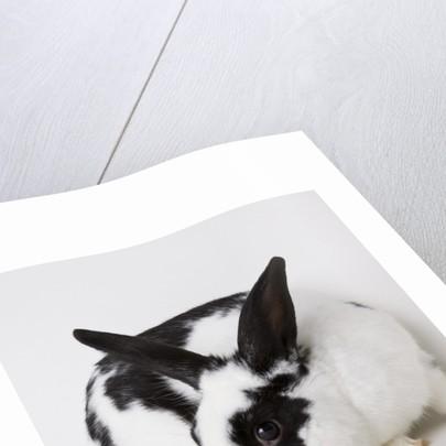 Black and tan rabbit by Corbis