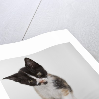 Calico kitten by Corbis