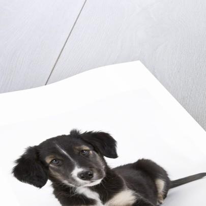 Australian shepherd puppy by Corbis