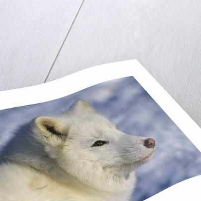Artic Fox (Alopex Lagopus) Massey, Ontario, Canada by Corbis