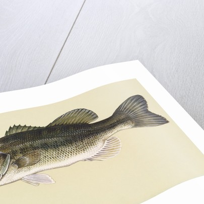 Largemouth bass by Corbis