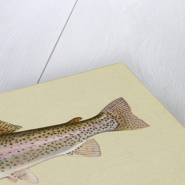 Rainbow trout by Corbis