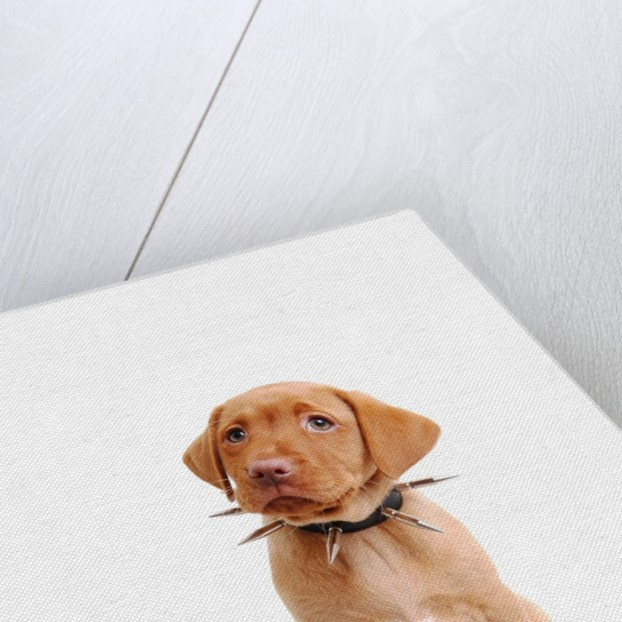 Fox red labrador puppy wearing large spiked collar by Corbis