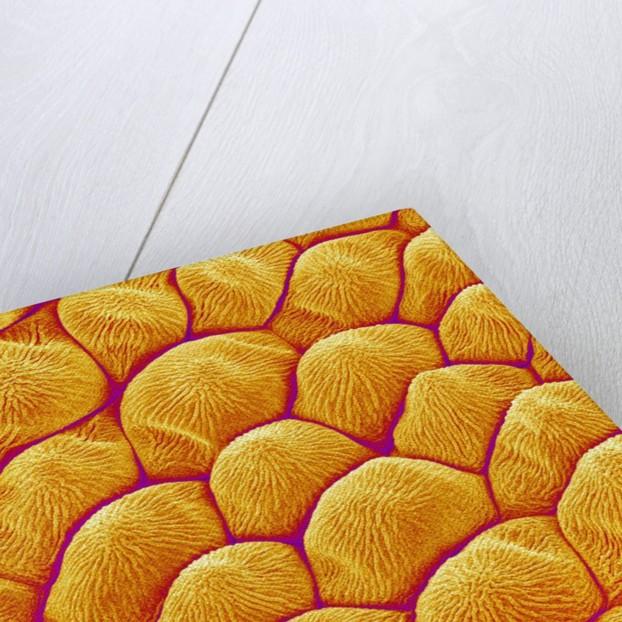Chrysanthemum petal by Corbis