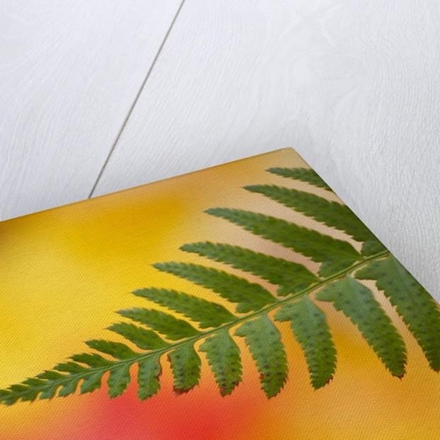Fern leaf in fall by Corbis