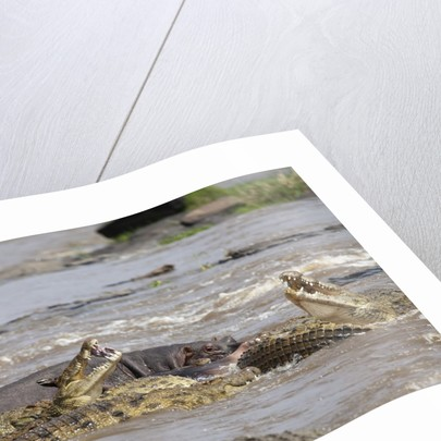 Hippopotamus threatening Nile crocodiles in river by Corbis
