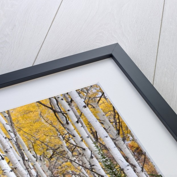 Colorful aspen trees. Thorpe Mountain, Colorado by Corbis