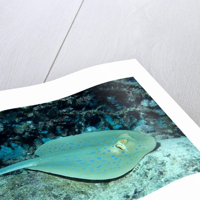 Blue-spotted Ribbontail Ray (Taeniura lymma), Red Sea. by Corbis