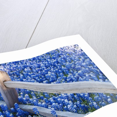 Bluebonnets along fenceline by Corbis