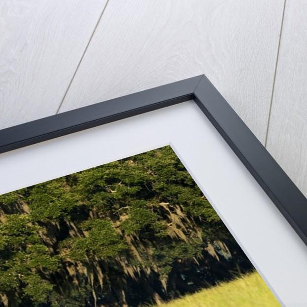 Spanish Moss, Pineland, Florida by Corbis