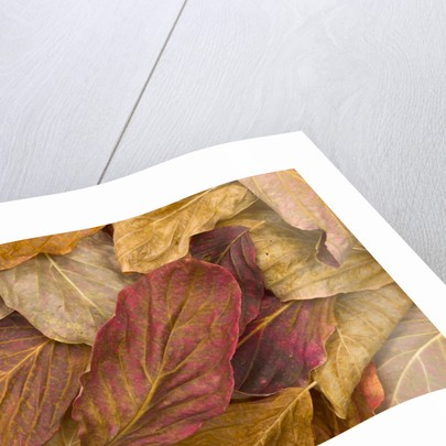 Pacific dogwood leaves in fall by Corbis