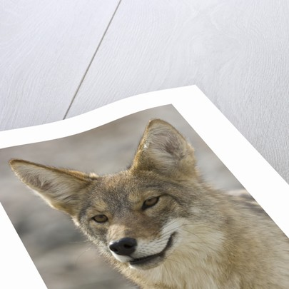 Coyote in Death Valley National Park by Corbis