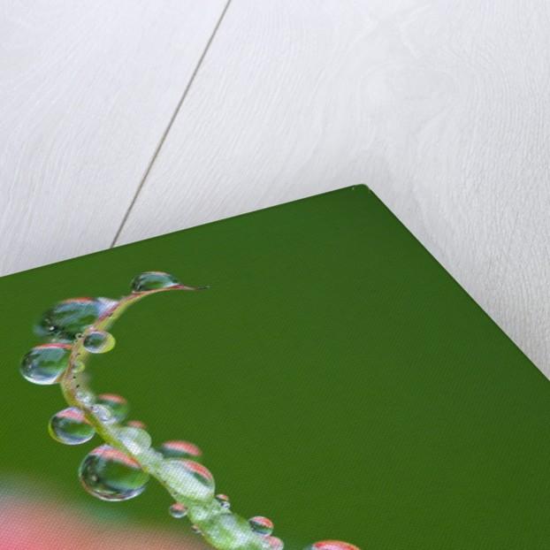 Dew drops on a flower stem by Corbis