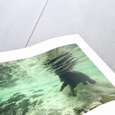 Underwater Brown Bear, Katmai National Park, Alaska by Corbis
