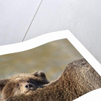 Brown Bear Cub and Mother, Katmai National Park, Alaska by Corbis