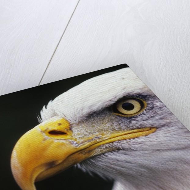 Bald Eagle (Haliaeetus leucocephalus) by Corbis