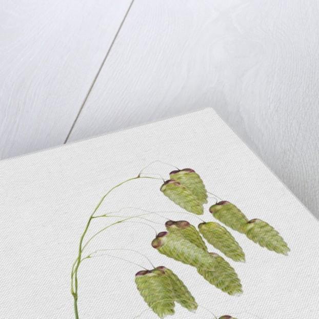 Common quaking grass (briza media) by Corbis
