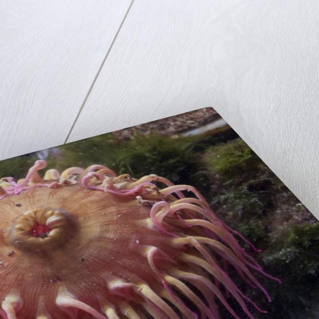 Close up of sea anemone at New England Aquarium by Corbis