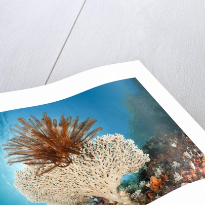 Crinoid (Comanthina) on a small Table Coral, Raja Ampat, West Papua, Indonesia by Corbis