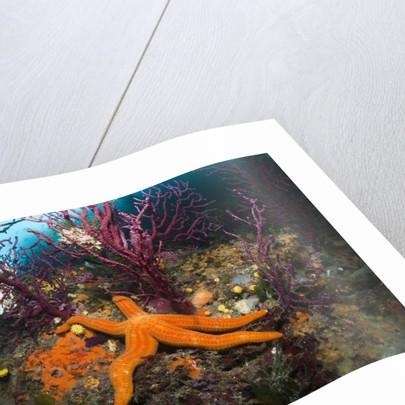 Red Starfish on a Coral Reef (Echinaster sepositus), Cap de Creus, Costa Brava, Spain by Corbis