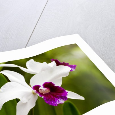 Cattleya orchid in Hawaii by Corbis