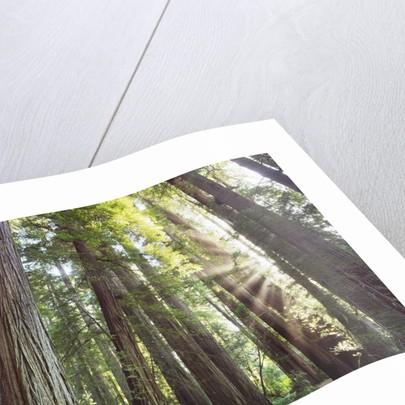 Coast redwood forest (sequoia sempervirens) by Corbis