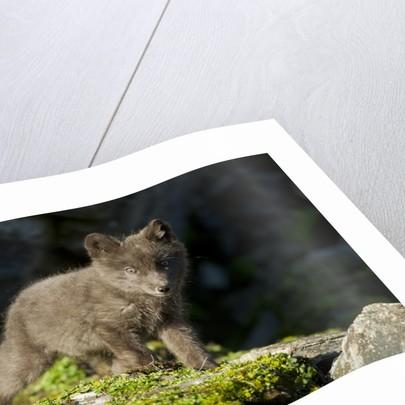 Arctic Fox, Svalbard, Norway by Corbis