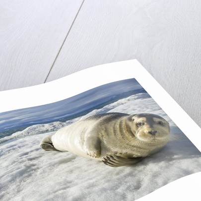 Bearded Seal, Svalbard, Norway by Corbis