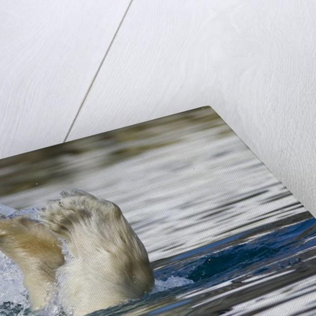 Polar Bear, Svalbard, Norway by Corbis