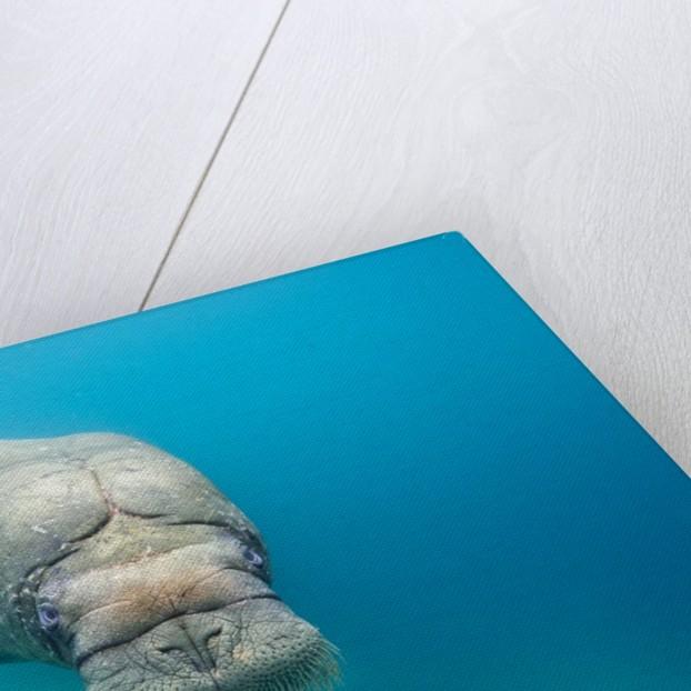 Walrus, Svalbard, Norway by Corbis
