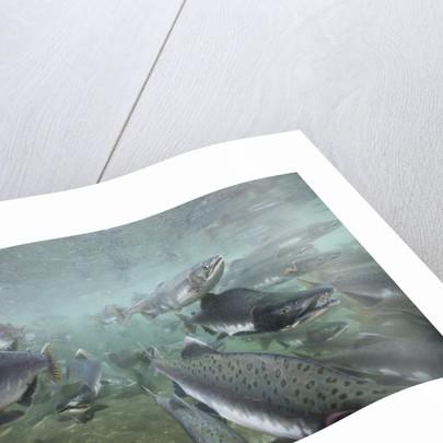 Spawning Salmon, Katmai National Park, Alaska by Corbis