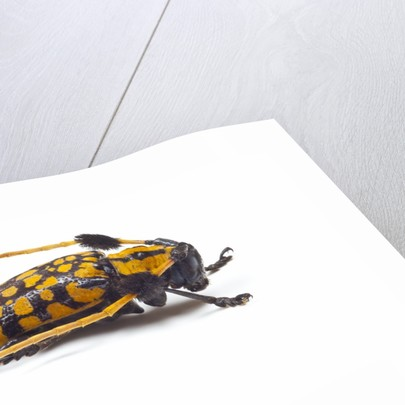 Long Horned Beetle Aristobia approximator, Male smaller and female larger by Corbis