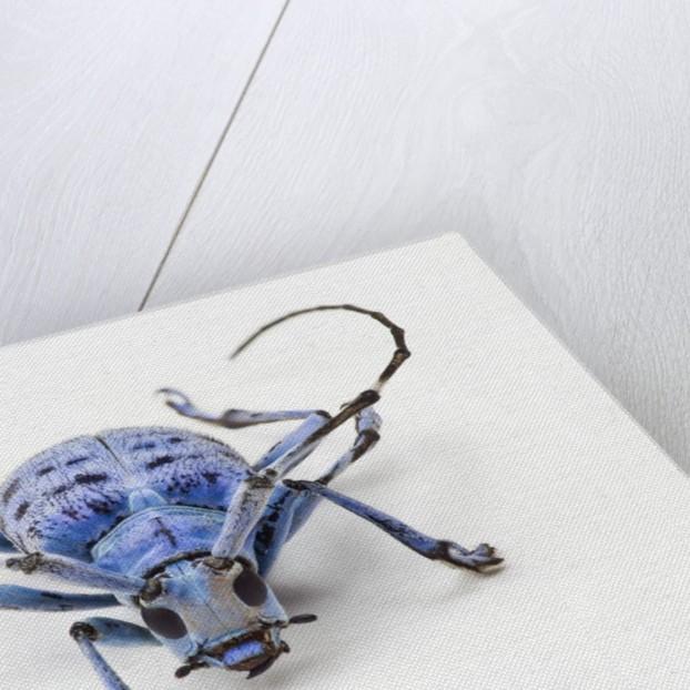 Horned Beetle Pseudomyagrus waterhousei in light blue coloration by Corbis