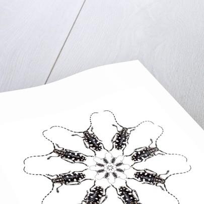 Circular Long Horn Beetle Design of Threnetica lacrymans by Corbis