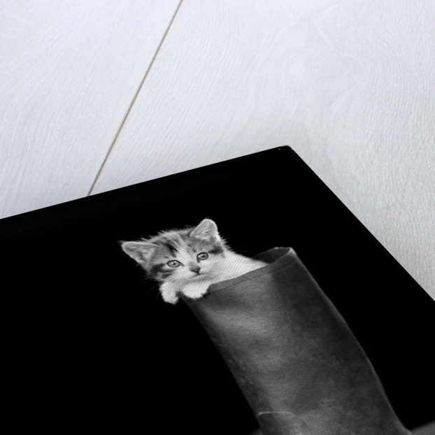 1950s puss in boots cute kitten climbing out of man's boot looking at camera by Corbis