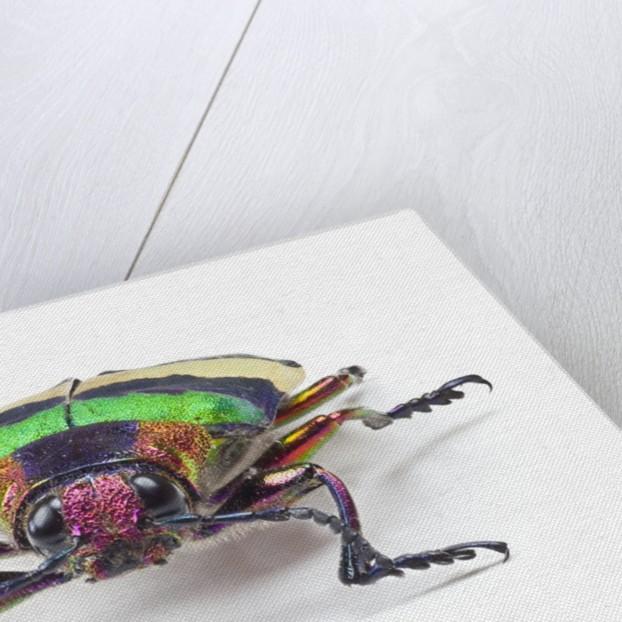 Jewel Beetle from Thailand Chrysochroa corbetti head on view by Corbis