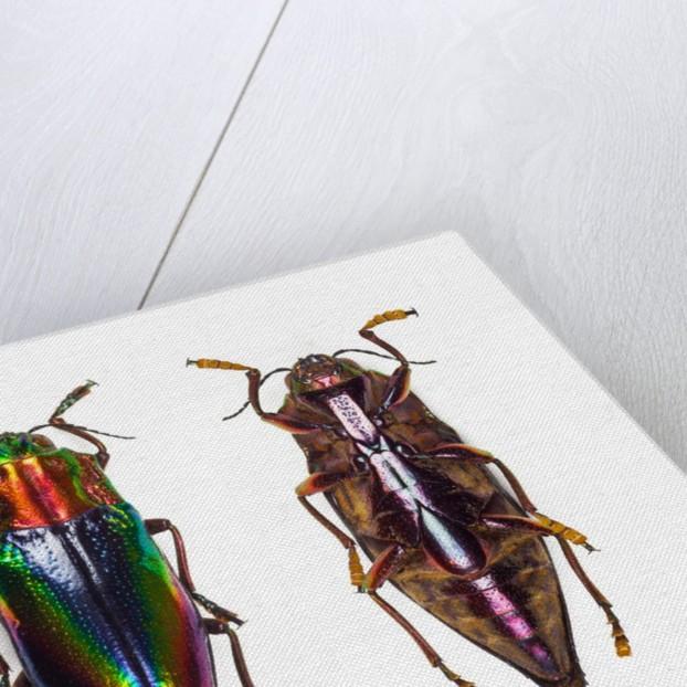 Top and underside view of jewel beetle Cyphogastra javanica by Corbis