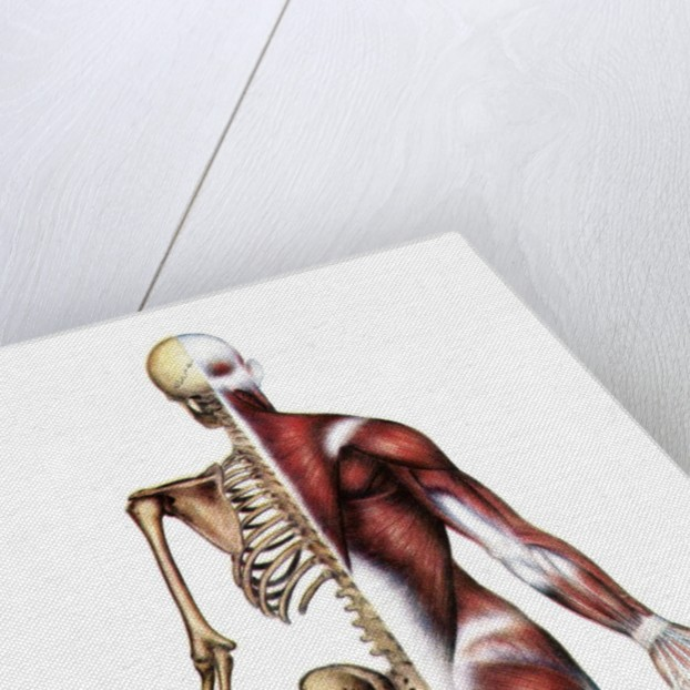 Vintage medical diagram of the posterior skeleton and muscles by Corbis