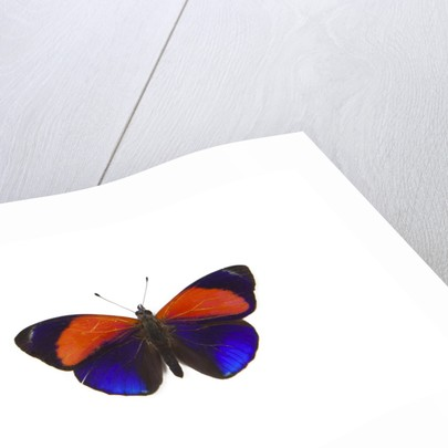 Dotted Glory Butterfly Asterope markii from South America study on White by Corbis