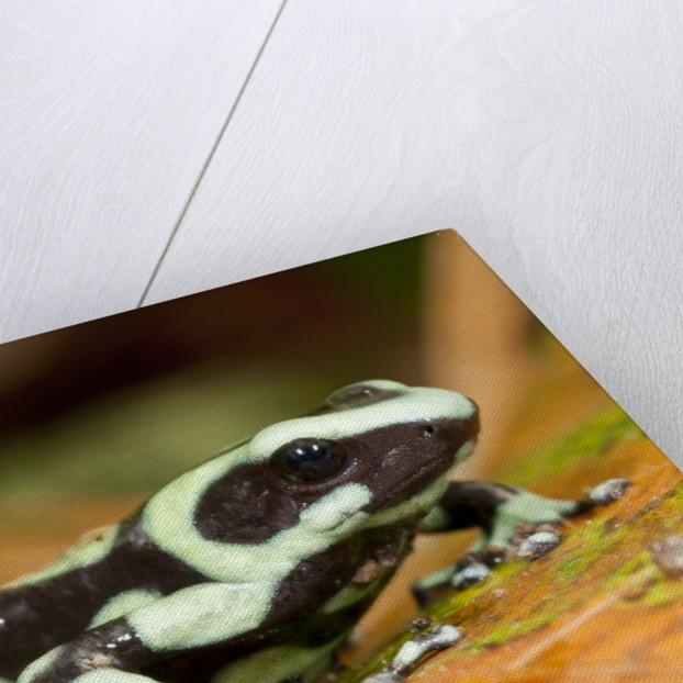 Poison Dart Frog, Costa Rica by Corbis