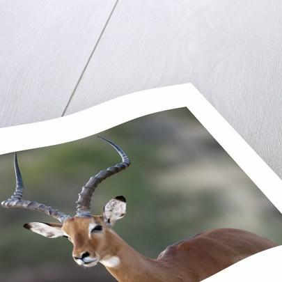 Impala (Aepyceros melampus), Samburu, Kenya by Corbis