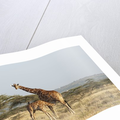 Masai Giraffe (Giraffa camelopardalis), Samburu, Kenya by Corbis