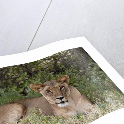 Lioness (Panthera leo), Samburu, Kenya by Corbis