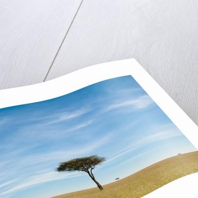 Acacia, Masai Mara, Kenya by Corbis