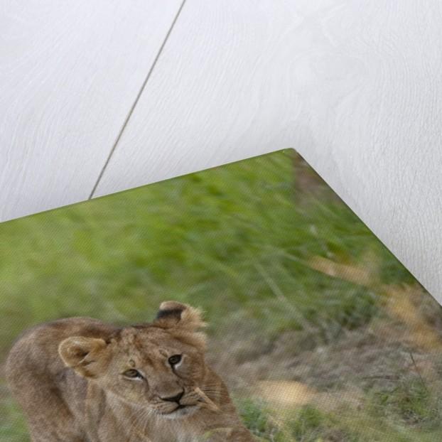 Lion cubs (Panthera leo), Masai Mara, Kenya by Corbis