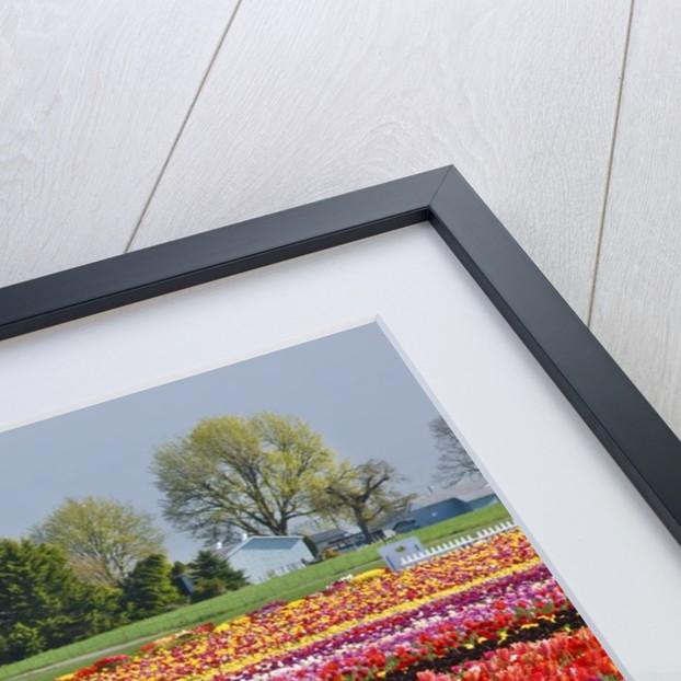 Tulip field by Corbis